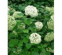 220px-hydrangea_arborescens_annabelle2