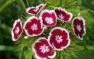 275px-dianthus-barbatus