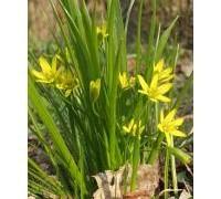275px-gagea_whole_plant