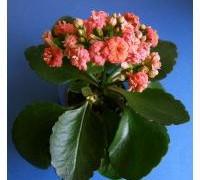 557px-2007-03-19kalanchoe_blossfeldiana01