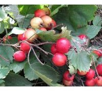 743px-crataegus-submollis-fruit