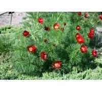 800px-paeonia_tenuifolia_prg1