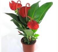anthurium-scherzerianum-red_121