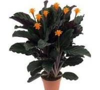calathea-crocata_269fd4bfe47660