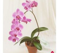 HomeOrchid-01L
