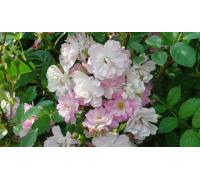 roza-kitayskaya