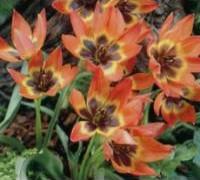 tulips-little-princess
